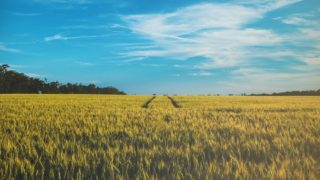 field畑